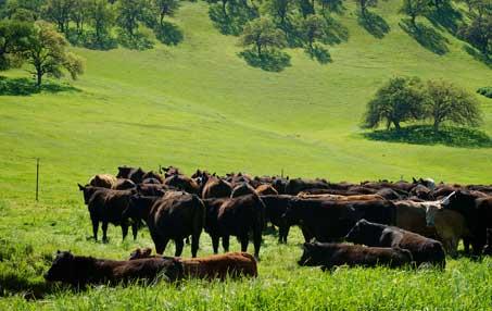Lush mountainside. Rich green grass. Herd of Black Angus cattle.