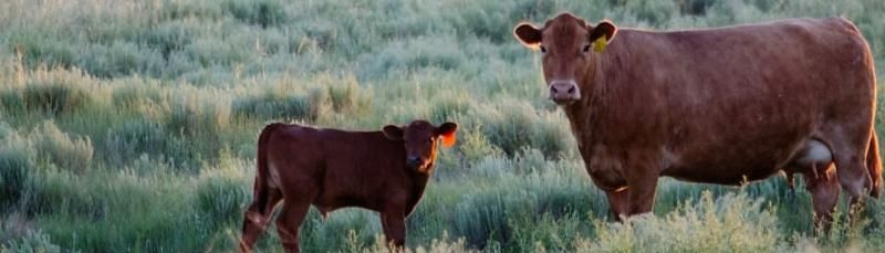 Calf with ear tag standing by mother cow in field