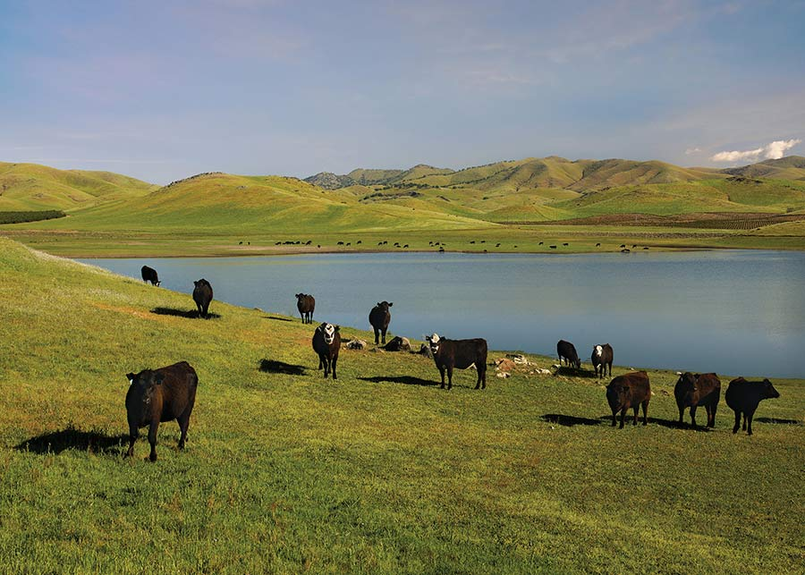 Cattle on pasturelands with fresh water lake and green rolling hills