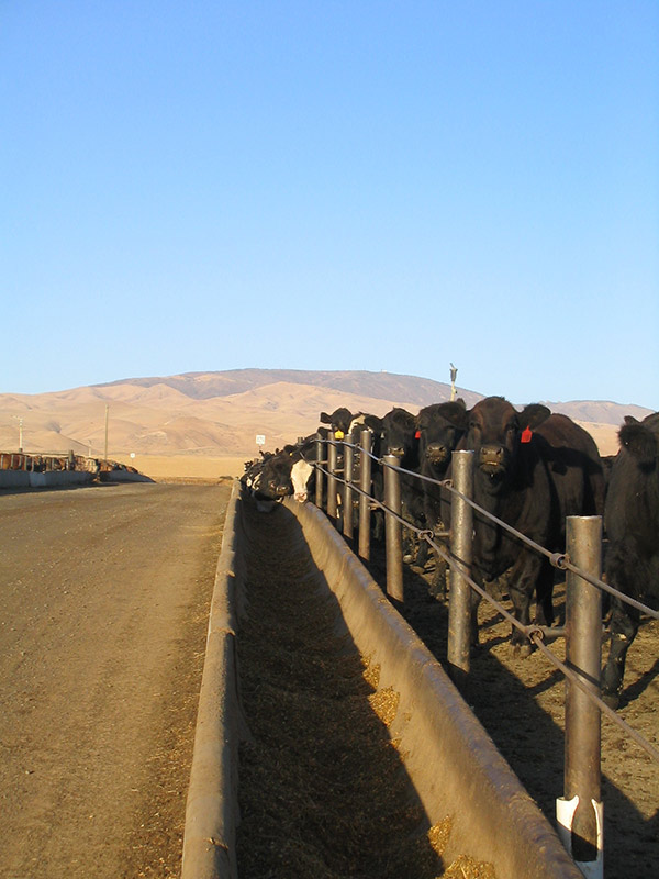 Feed lot with Black Angus cattle